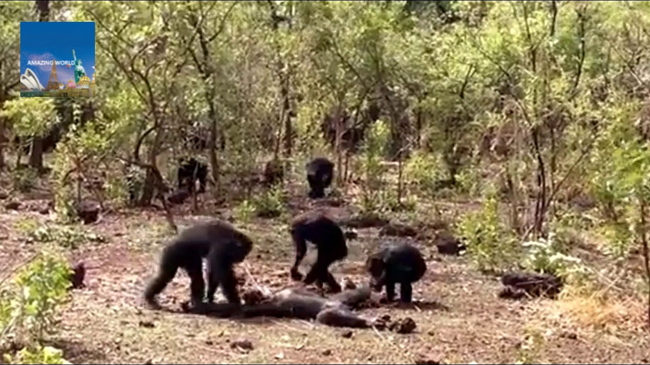 Chimpanzee named Foudouko was beaten, killed, and partially eaten by group