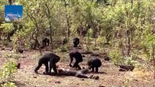 Chimpanzee named Foudouko was beaten, killed, and partially eaten by group