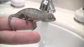 Blue Bar Ambilobe Panther Chameleon *Hatchling*