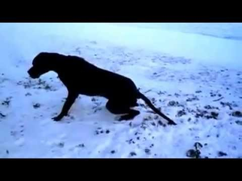 Great Dane With Wobblers Syndrome Youtube