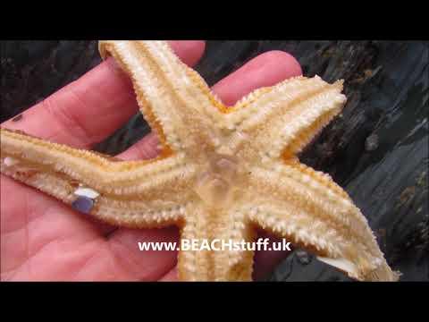 Starfish Retracting Its Stomach