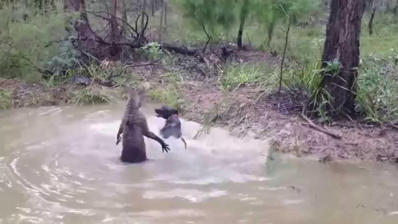 un kangourou essaye de noyer n't chien