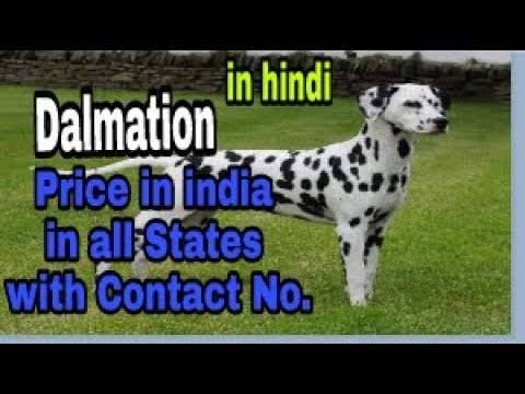 Dalmation Price in india in all States with Contact No. In hindi    dob  