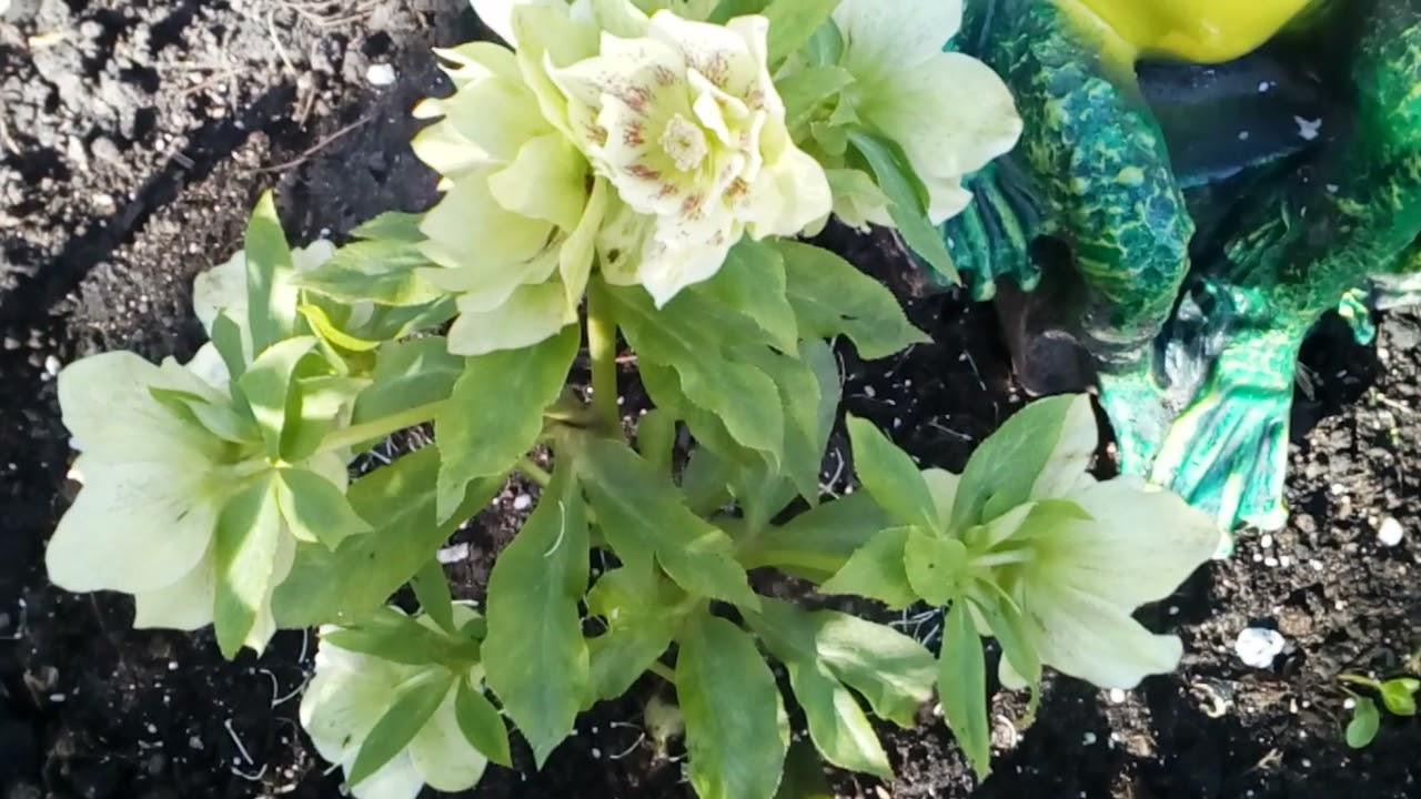 Утренний сад с севера #мускари #кандык #магнолия #рододендроны #тюльпаны #цвететчерешня #3мая2021