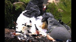 Кормление креветок в аквариуме