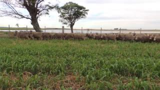 """Carneros Raza Merino Australiano de """"El Totoral"""", Salto, Uruguay video 2"""