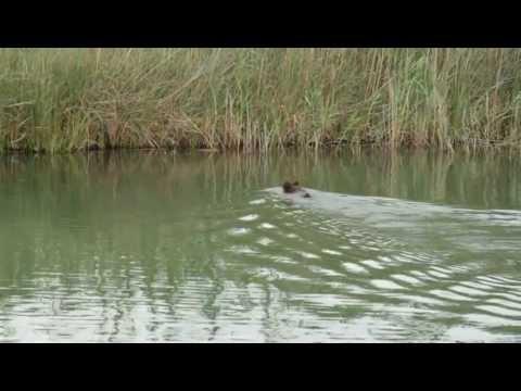 Dalyan'da Yüzen Bir Yaban Domuzu - A Wild Boar Swimming in Dalyan