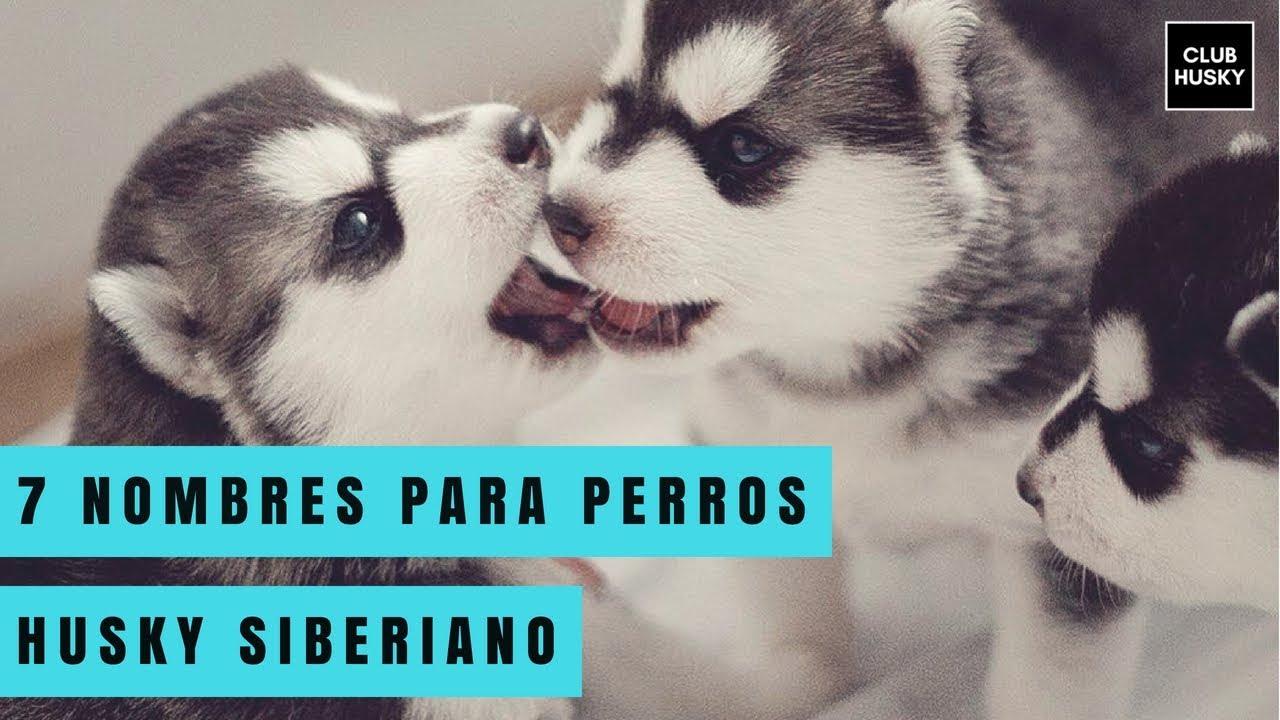 7 Nombres Para Perros Husky Siberiano Youtube