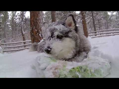 Alaskan Malamute Puppy Growing to 6 Months with Puggle
