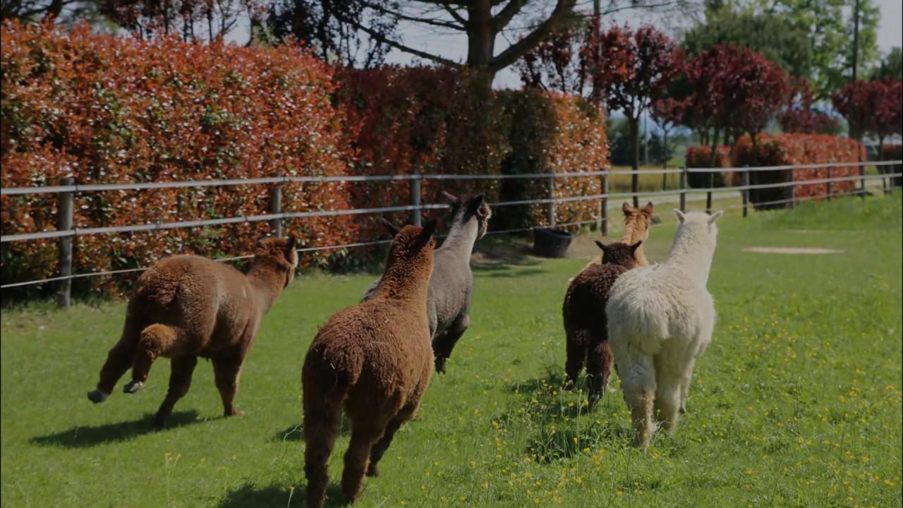 Piantare Alberi Di Paulonia paulownia & alpaca - youtube