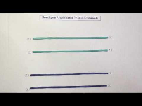 Eukaryotic homologous recombination