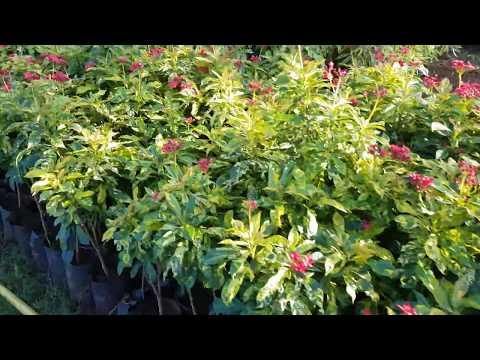 Garden Center, Forest Plants, Tree Plants, Flower Plants, Wholesale Nursery in Pune