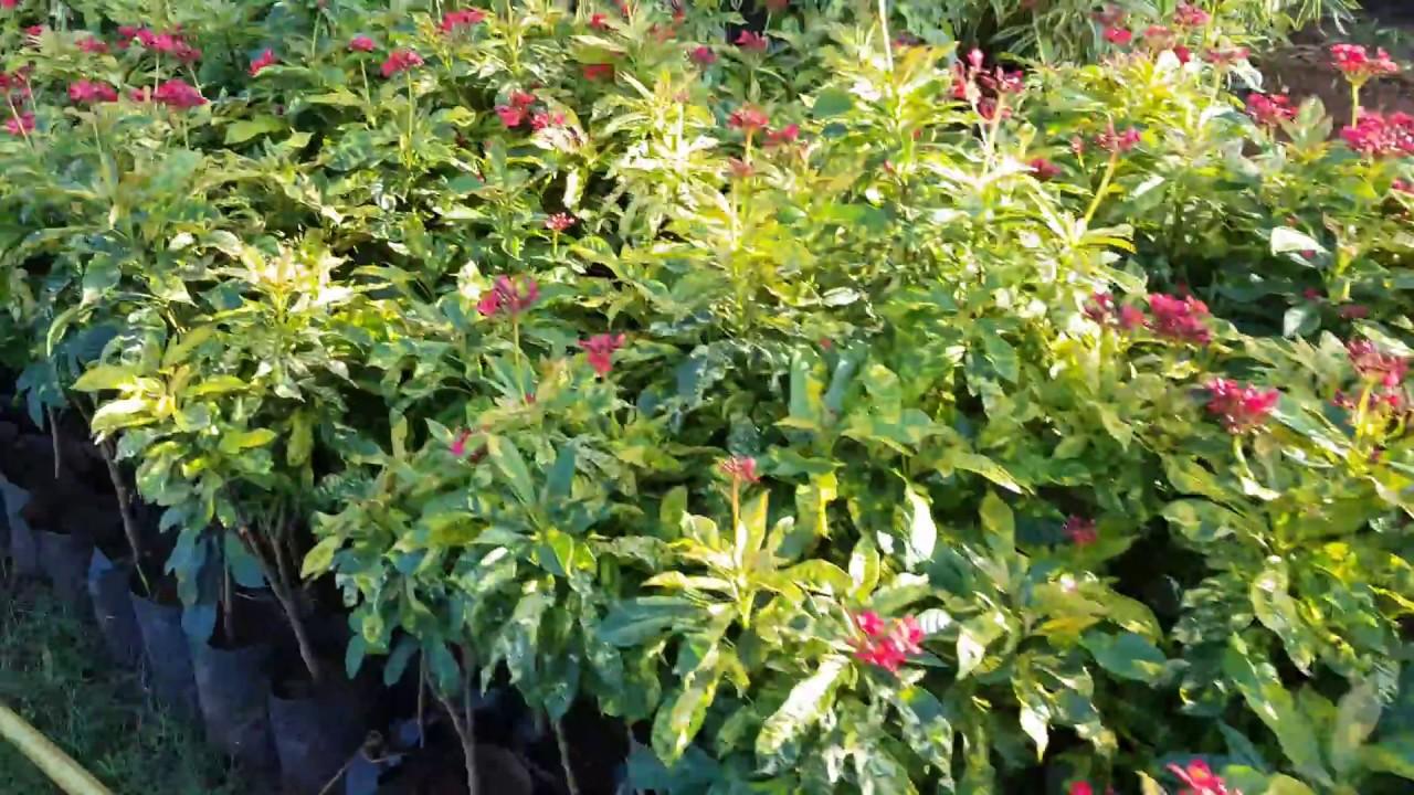 Garden center forest plants tree plants flower plants wholesale garden center forest plants tree plants flower plants wholesale nursery in pune izmirmasajfo