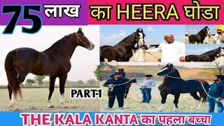 kala kanta ka phela बच्चा  HEERA 75 लाख  ka | मारवाड़ी घोड़ा हीरा | Beniwal STUD FARM | PART- 1