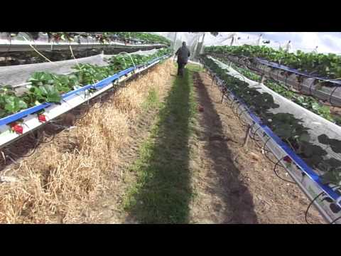 Growing Substrate Strawberries  1