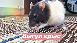 Выгул крыс/крысюши гуляют на балконе 🐭🐭🐭🐭❤️