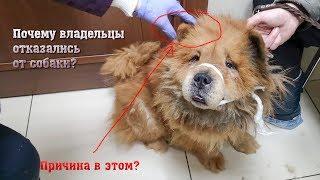 Породистые тоже плачут Спасаем брошенную Чау-Чау animal shelter rescues abandoned dog