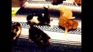 Ziakatz Ms Skittles 7 Exotic Kittens Playing-3 weeks Old