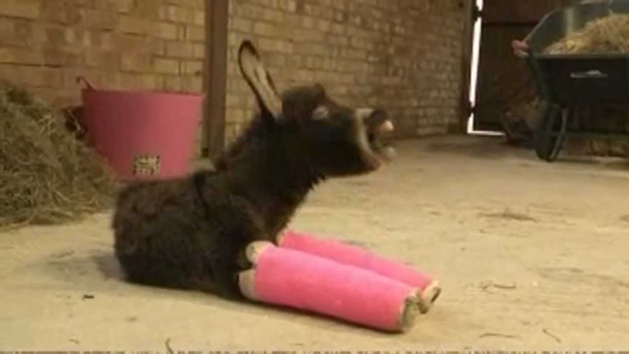 Pre Owned Trucks >> Cute Baby donkey has her front legs set in pink cast - YouTube