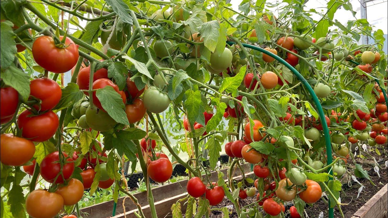 Пора обрезать листья у томатов  Плоды после этого сразу краснеют