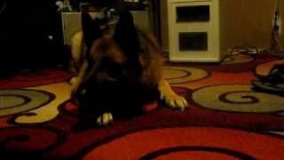 8 Week Old Terrier Puppy & German Shepherd Play Fight