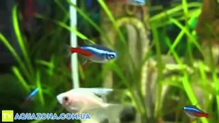 Неон голубой - неприхотливые рыбки для маленького аквариума купить(Неон голубой - неприхотливые рыбки для маленького аквариума купить., 2014-02-10T20:36:43.000Z)