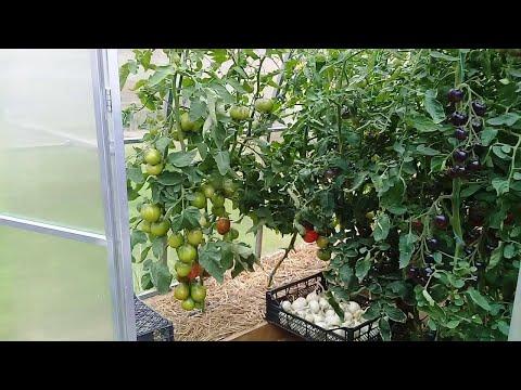 Шикарный томат Японский трюфель чёрный