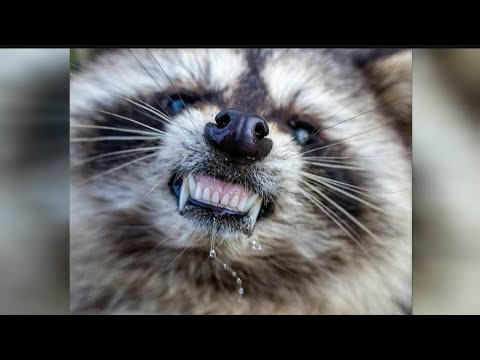 """Reports of """"zombie-like"""" raccoons puzzle Youngstown police"""