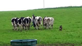 Sweet (Berger Australien de lignée travail) sur génisses laitières 2017