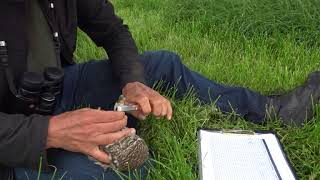 Steenuilen ringen Vogelwerkgroep Midden-Delfland mei 2018