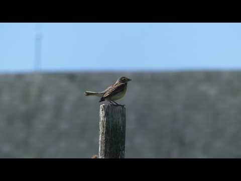 Dickcissel singing in a stiff wind