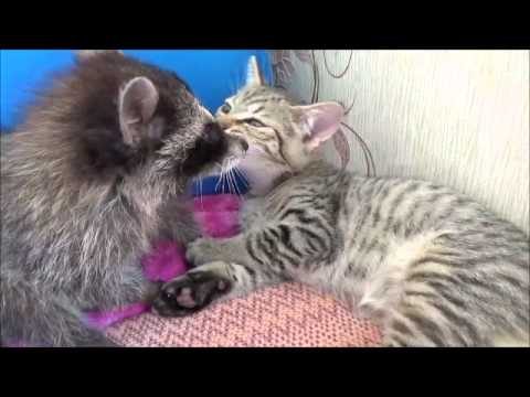 Еноты и котята