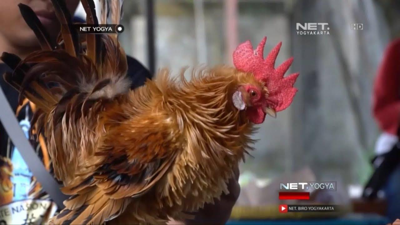 Kontes Adu Cantik Ayam Kate Net Yogya