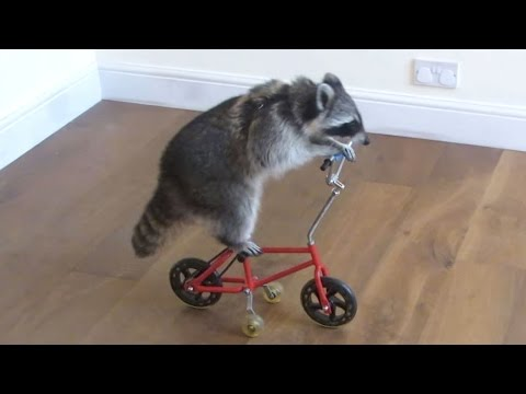 Funny Raccoon Videos ★ Keep Calm And Be A Raccoon [Funny Pet Media]