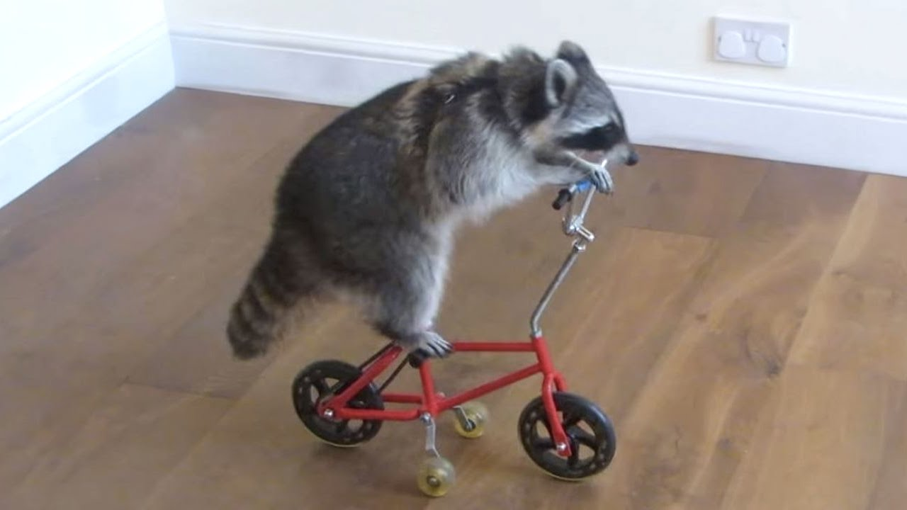 Image result for Funny Raccoon