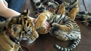 カンチャナブリ郊外、タイガーテンプルでトラの世話をしてるトラ・マニ...