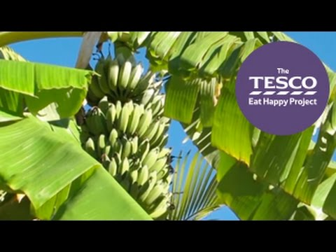 See how bananas travel from the plantations of Costa Rica to the shops in the UK