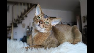 Abyssinian Cat Compilation