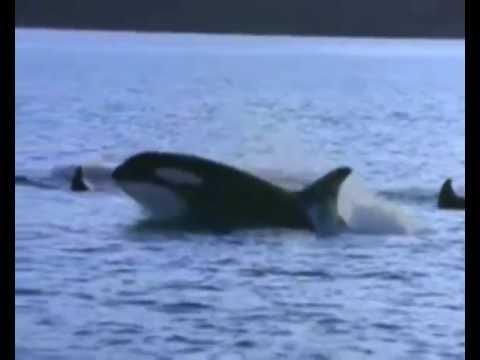 Les Orques ( orcas, killer whales) video poster