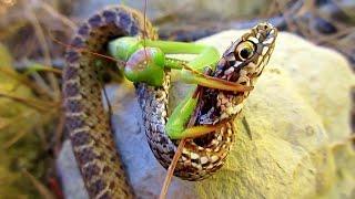 БОГОМОЛ ПРОТИВ змеи, паука, шершня, мыши и даже ИГУАНЫ! Это версус!