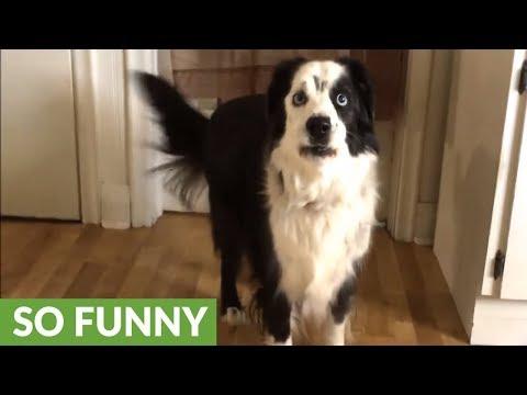 Dog on diet throws tantrum when denied cookies