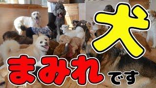 【おもしろ・かわいい犬動画】 2016年の犬種類ランキング 小型犬・中型...