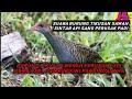 Suara Pikat Burung Tikusan Pitik Pitik An Berburu Jaring Ampuh  Mp3 - Mp4 Download