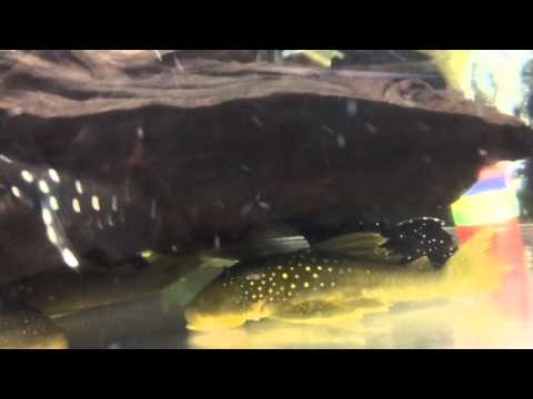 Wild caught green phantom pleco doovi for Vampire fish for sale