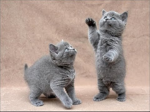 как знакомить кошек