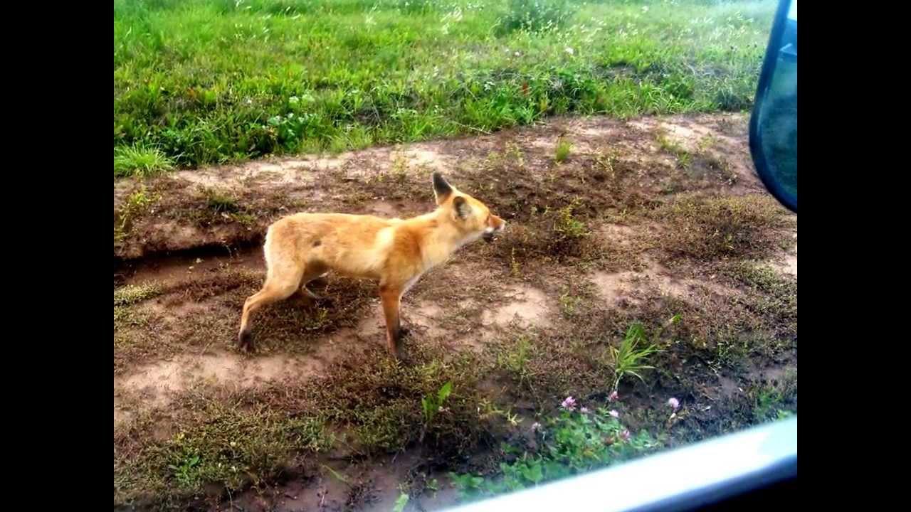 Нападение бешеной лисицы Фото Рыбалка в Удмуртии - YouTube