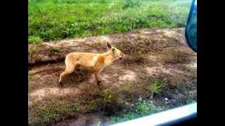 Нападение бешеной лисицы Фото Рыбалка в Удмуртии