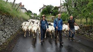 Mon beau Cantal N°115 transhumance moutons Giou de Mamou