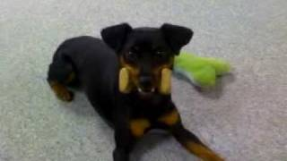 Athena Has Her Playtime - Miniature Pinscher