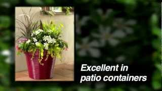 Pinwheel® Gardenia